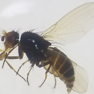 1Agromyzidae