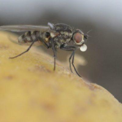 2 Anthomyiidae-delia