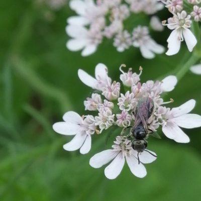 2 pollinators Halictidae22