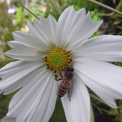 2 pollinators apis