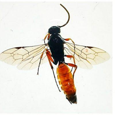 3 parasitoid Ichneumonidae