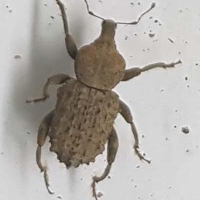 4Curculionidae1x400